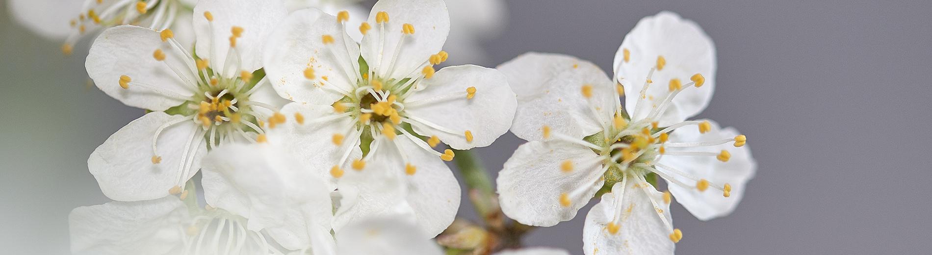 Kevadised õied