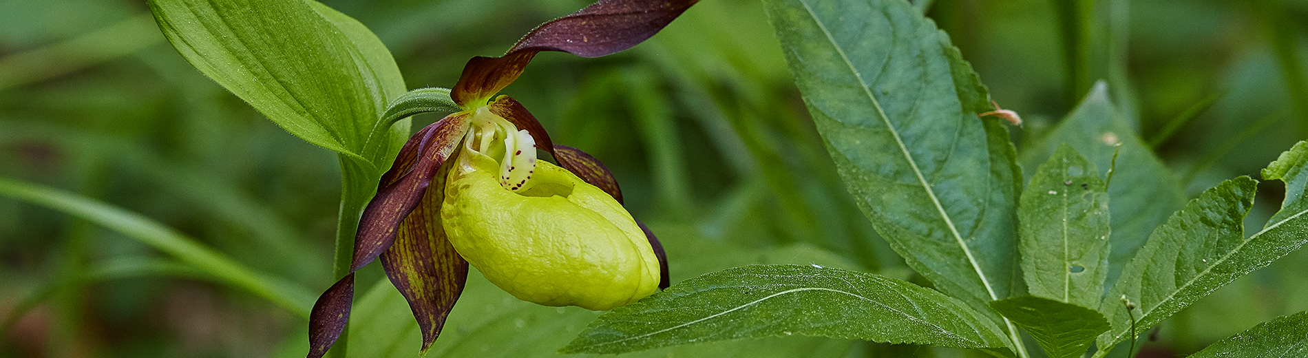 The season of lady's-slipper orchids